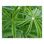 Lupin Leaves Beautiful Green Nature Poster