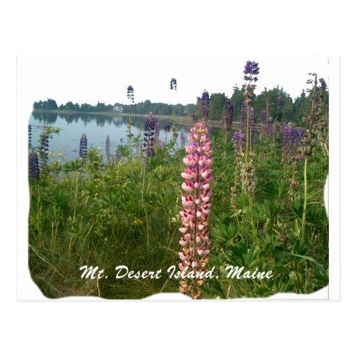 Lupine along coastal Acadia Post Cards