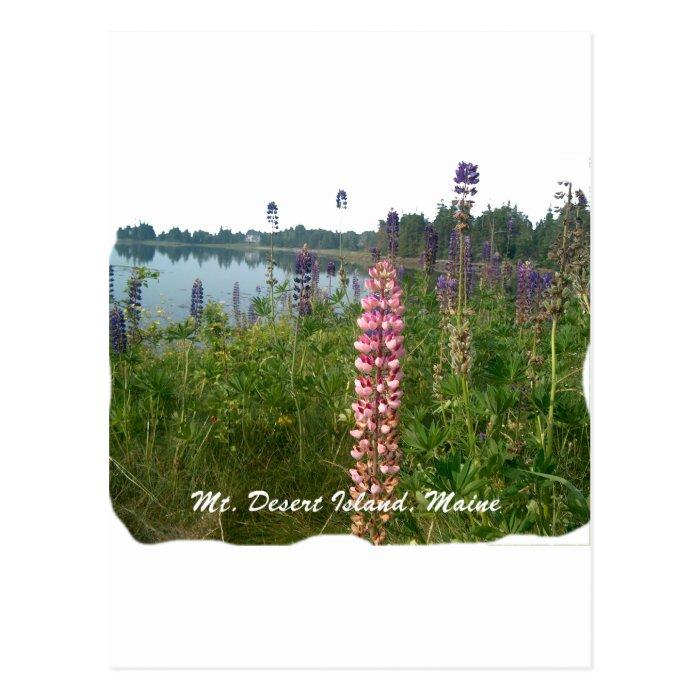Lupine along coastal Acadia Postcard