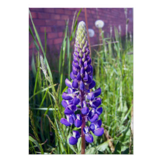 Lupine blanco y púrpura 1 poster