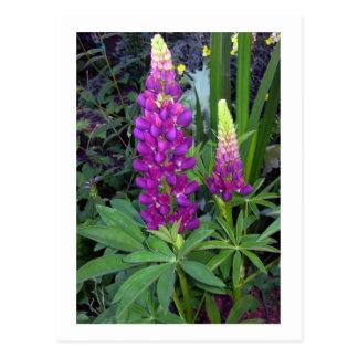 Lupine en el jardín perenne tarjetas postales
