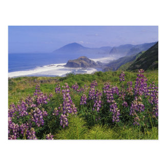 Lupine flowers and rugged coastline along postcard