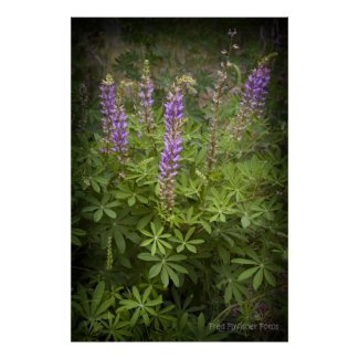 Lupine Poster print