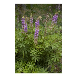 Lupine Poster 2 print