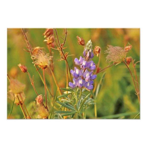 Lupine & Prairie Smoke wildflowers in Montana 2 Photo Print