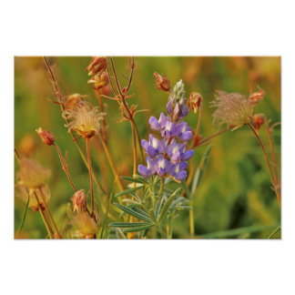 Lupine & Prairie Smoke wildflowers in Montana 2 Poster