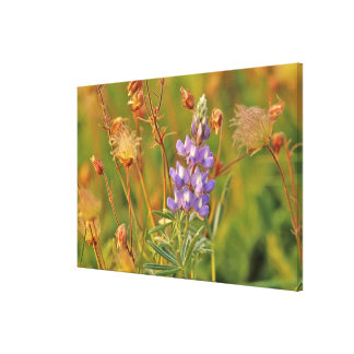 Lupine & Prairie Smoke wildflowers in Montana Canvas Print