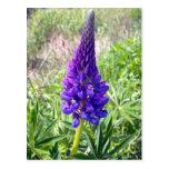 Lupine púrpura 1 postal