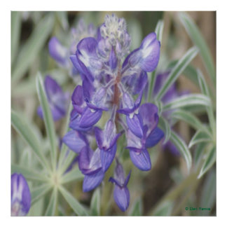 Lupine púrpura de la publicación anual de los Wild Póster