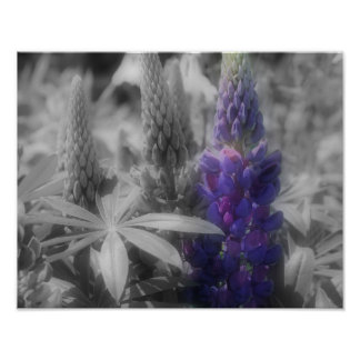 Lupine Trio BW Partial Color Flower Poster