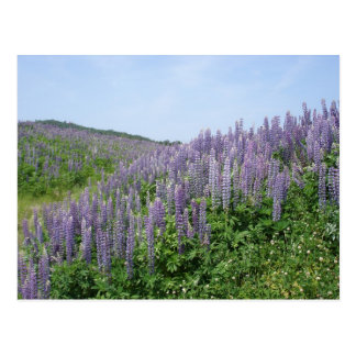 Lupine Valley Postcard