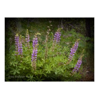 Lupine Wildflower Poster 1 print