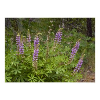 Lupine Wildflower Poster 2 print