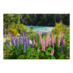 Lupines along the Rio Azul, Argentina Posters