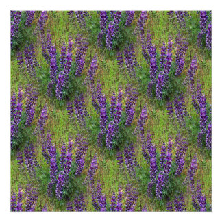 Lupines Galore... Poster