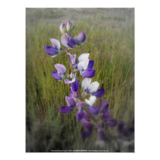 lupines in the grass posters