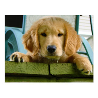 Lupus de Canis del perro de perrito del golden Postales