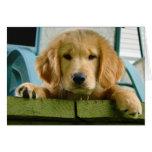 Lupus de Canis del perro de perrito del golden ret Tarjeton