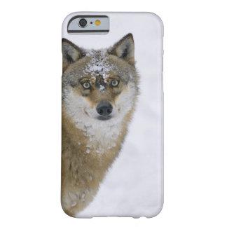Lupus de Canis, mirando la cámara, Alemania, Funda Barely There iPhone 6