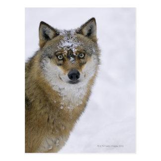 Lupus de Canis, mirando la cámara, Alemania, Postales