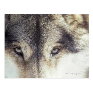 Lupus de Canis Postales