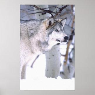 Lupus del lobo, de Canis de madera, película Utah  Impresiones