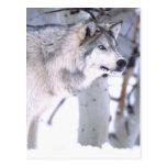 Lupus del lobo, de Canis de madera, película Utah Tarjeta Postal