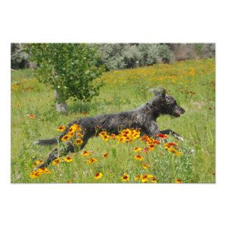 Lurcher Running Through A Flower Field - Print