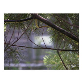 Lurker - Pine Tree Photograph Poster