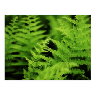 Lush Green Ferns Post Card