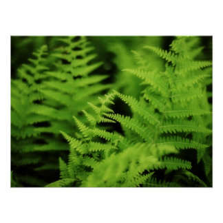 Lush Green Ferns Poster