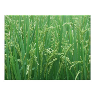 Lush Green / Rice Field Poster