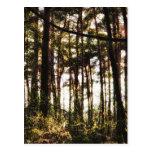 Luz a través de los árboles forestales postal