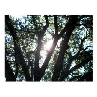 Luz del sol a través de Live Oak Postales