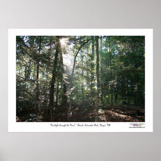 Luz del sol a través de los pinos póster