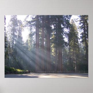 Luz del sol de la mañana en el árbol de general Gr Póster