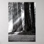 Luz del sol de las secoyas de Mariposa California Impresiones