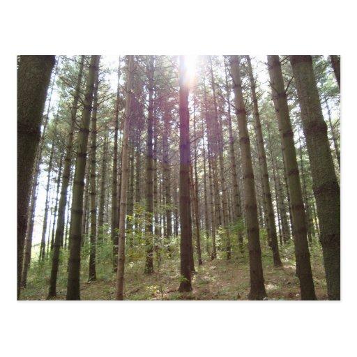 Luz del sol en los pinos postales