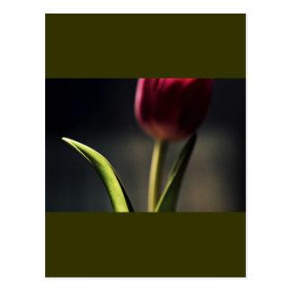 Luz del Viejo Mundo, tronco del tulipán, Tarjetas Postales