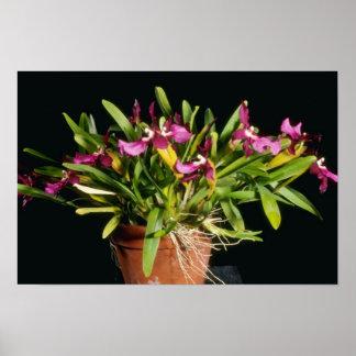"Lycaena rosado flores de ""Stamperland"" (Miltonia) Posters"