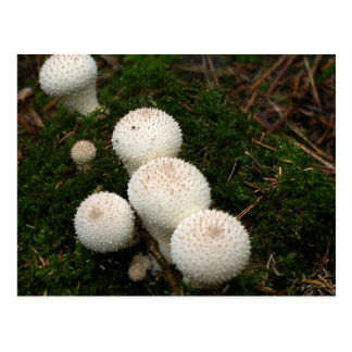 Lycoperdon puffball mushrooms postcard