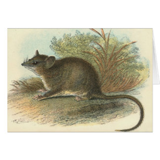 Lydekker - Common Dormouse Phalanger/Possum Greeting Card