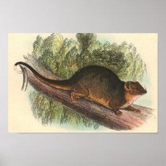 Lydekker - Common Ring-Tailed Phalanger/Possum Poster