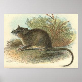 Lydekker - Dormouse común Phalanger/oposum Póster