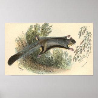 Lydekker - Lesser Flying Phalanger/Possum Folio Poster
