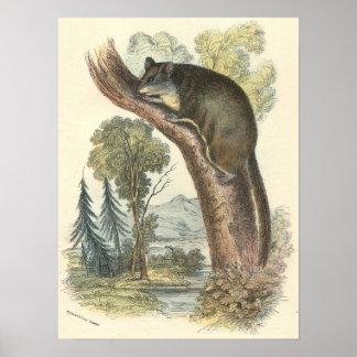 Lydekker - Pygmy Flying Phalanger/Possum Poster