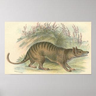Lydekker - Thylacine - cartera tasmana del tigre Posters