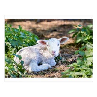 Lying lamb between nettle plants postcard