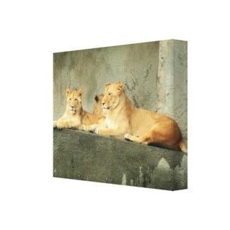 Lying Lions by DJONeill Canvas Print