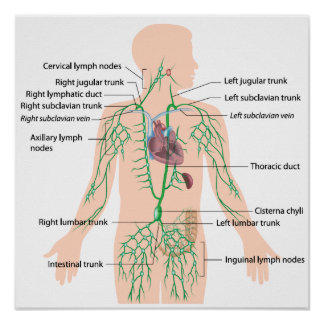 Lymphatic drainage labeled poster